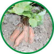 grow sweet potato howell farming