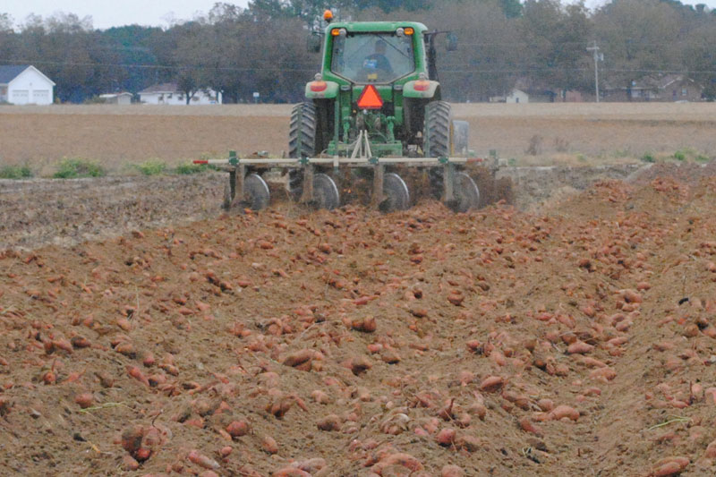 sweet potato field