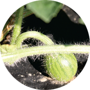 vine watermelon howell farming